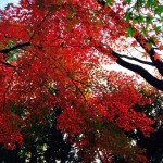 日本の秋の彩りは世界一美しい、と思う。〜 Autumn Leaves