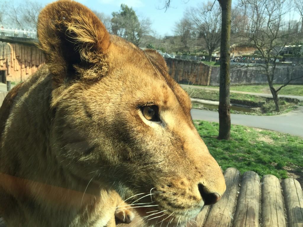 多摩動物園ライオン