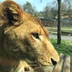 多摩動物園のサファリ形式のアフリカバス、3月31日でいったん終了。 また間近でライオンを見れるのは3年後らしい。