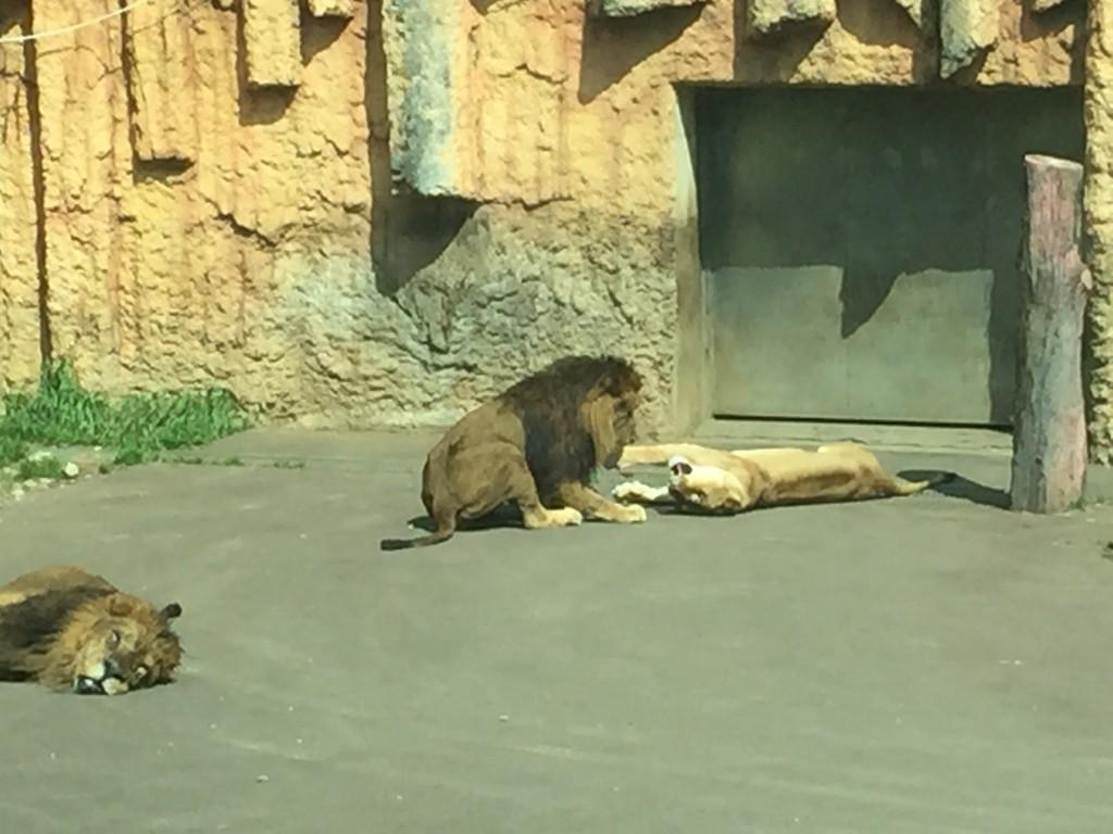 ライオンカップル
