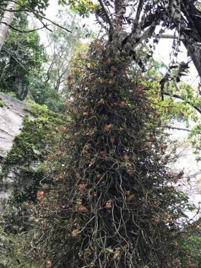 Bodhi Treeブッダが啓示を受けた木